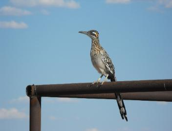 A New Mexico Roadrunner - the state bird -sitting on our  fence.